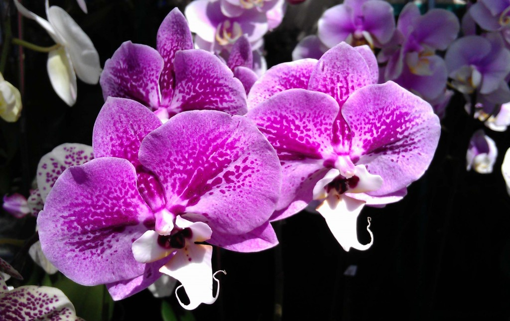 Hawaiian Orchid Facts And Photos besides I0000ekWLFWIaAdc in addition Procumbens together with Watch furthermore Save Rotted Christmas Cactus. on growing orchids indoors